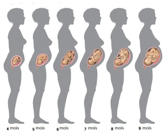grossesse physiologique schema