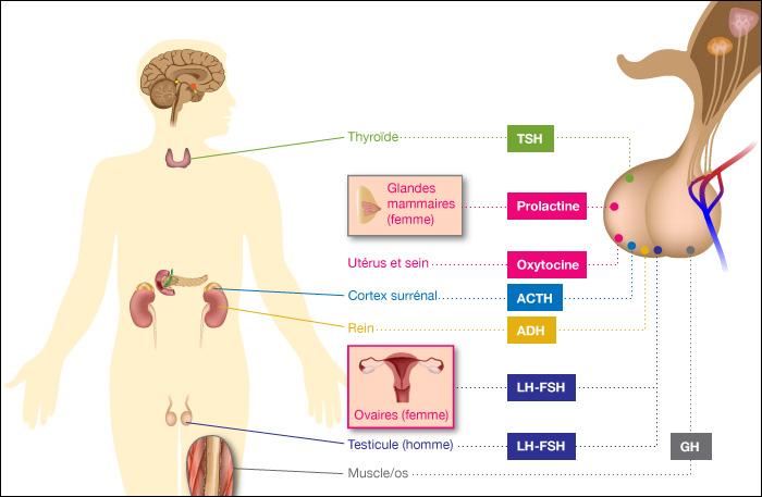 Dosages hormonaux - Bola de grossesse signification ...