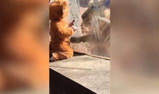 Quand un bébé déguisé en lion rencontre le vrai roi des animaux, l'échange est captivant !