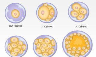 Embryogenèse
