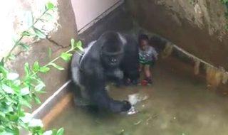 Gorille abattu pour sauver un bébé : mais pourquoi blâme-t-on toujours la maman ?